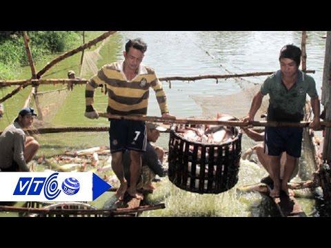 Thương lái Trung Quốc mua cá tra giá cao với mục đích gì? | VTC
