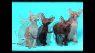 Фотосессия ориентальных кошек