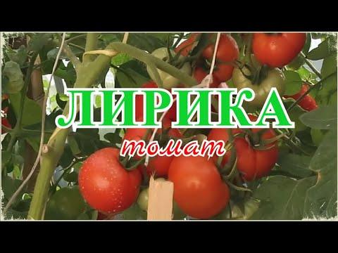 🍅 Томат ЛИРИКА F1 (от рассады до полного сбора урожая) |  Шикарный томат на осенние соленья