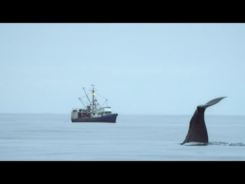 Sperm whales steal from a fishing boat - Alaska: Earth's Frozen Kingdom - Episode 1 - BBC Two