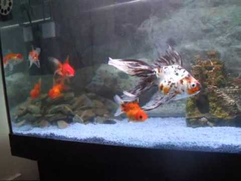My Beautiful Goldfish Youtube