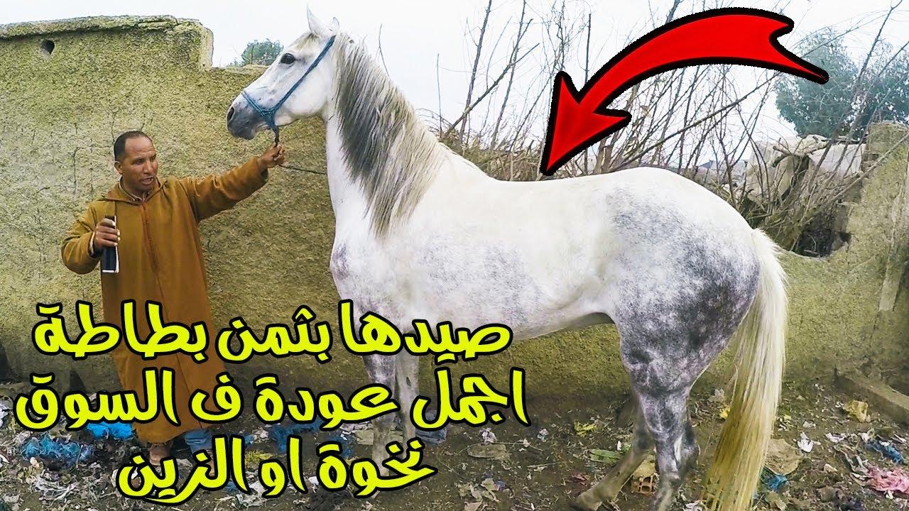 حميد طيكطوك خدا عودة ملكية بكارطة الزرقاء 🔥 العربي طويبة ملك تجارة الخيول شراء عود دهم بسوق الخميسات