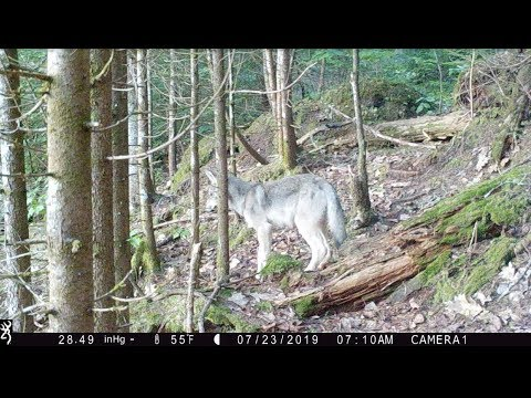 Wolf Pups Playing At Bear Bait In Wisconsin Wolf Caution Area