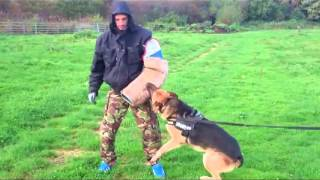 Protection Trained German Shepherd For Sale Uk Northeast