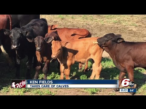 Missing calf could be wandering around Hamilton County