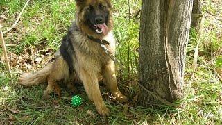 """8 лет работы с """"Диной"""". В память о моей служебной собаке."""