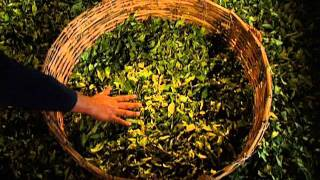 Production of Ronnefeldt Tea