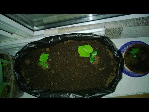 как выращивать ОГУРЦЫ НА ПОДОКОННИКЕ дома