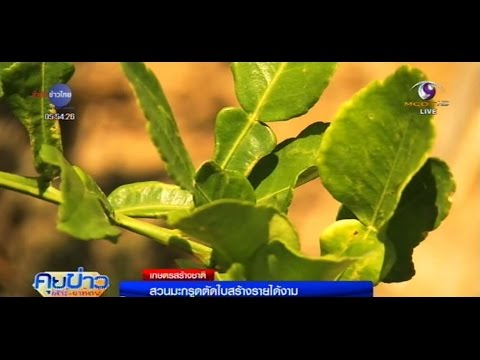เกษตรสร้างชาติ : สวนมะกรูดตัดใบสร้างรายได้งาม