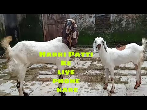 Totapuri Bakri And Harri Patti For Sale At Rafique Bhai In Bhiwandi.