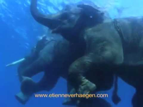 Swimming elephants / Elephants Nageurs