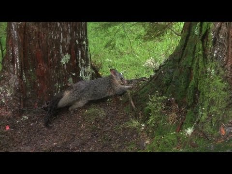 Possum Pest Feeds Thriving Fur Industry In New Zealand