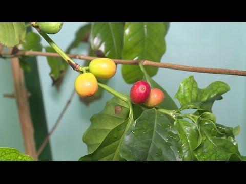 """""""Удачная среда"""" - выращиваем кофейное дерево в домашних условиях (Бийское телевидение)"""