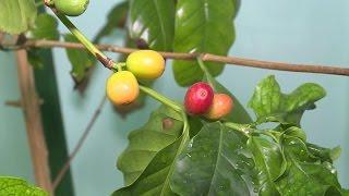 видео Кофейное дерево (Coffea)