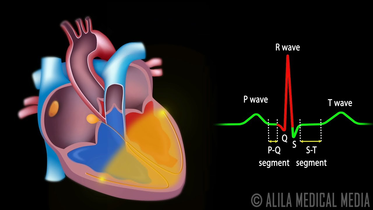 Heart Diagram Coronary Sinus Nissan Titan Trailer Wiring Cardiac Conduction System And Understanding Ecg, Animation. - Youtube