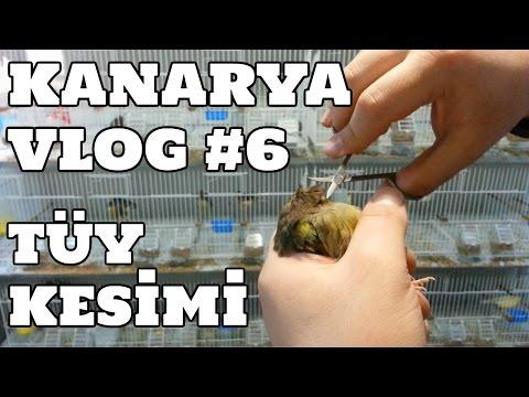Hobihanem - Kanarya Vlog #6 (Alt Tüy Kesimi) [13.03.2017]