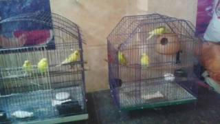 Budgies not breeding