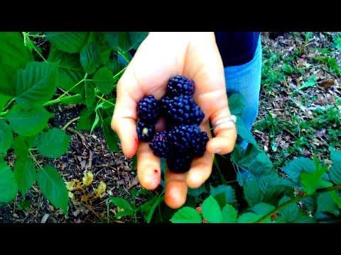 Thornless Blackberry - Delicious and ProductiveKaynak: YouTube · Süre: 3 dakika49 saniye