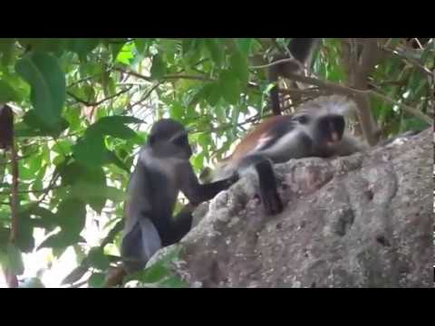 ZANZIBAR RED COLOBUS MONKEY & BLUE MONKEY