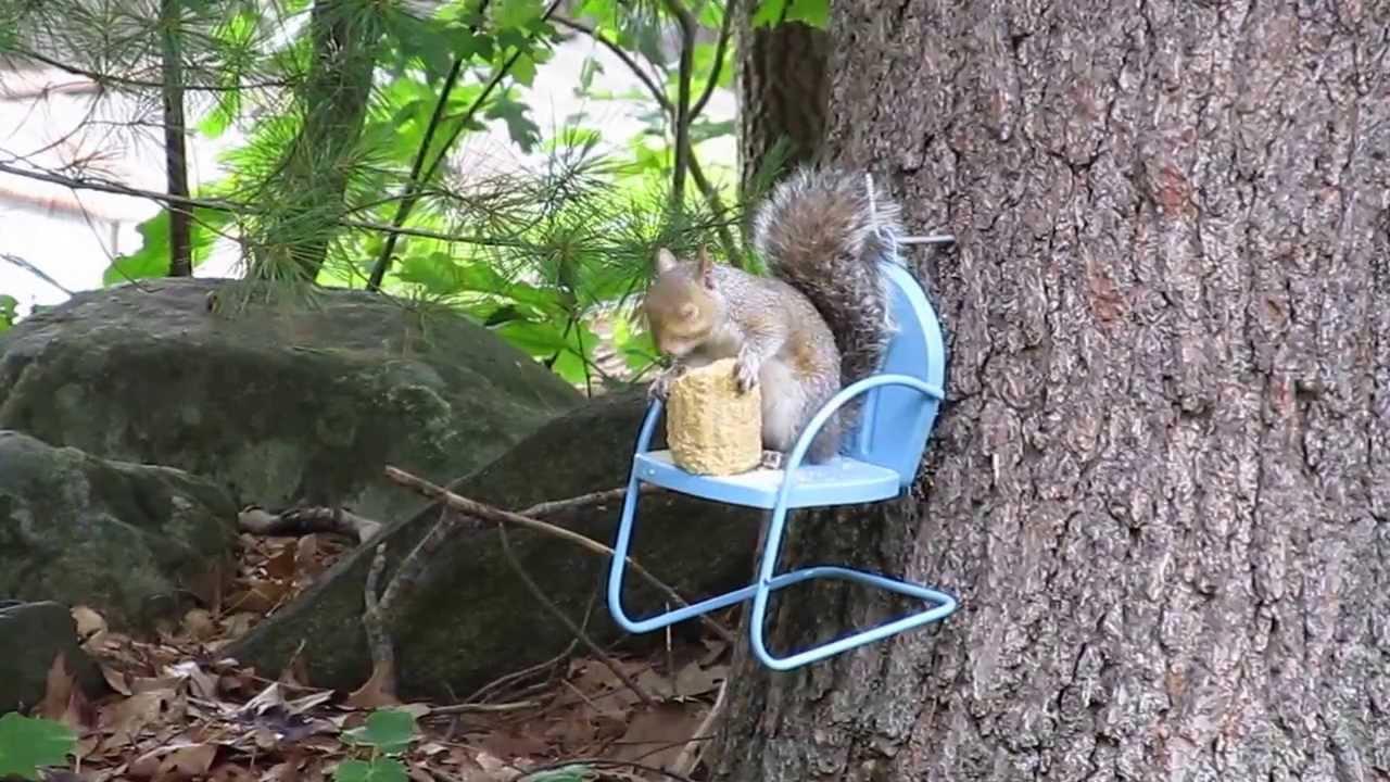 Squirrel In Chair Corn Cobb Feeder Youtube