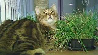 Первое кошачье кафе начало работу в Лондоне (новости)