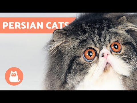 How To Identify Types Of Persian Cats