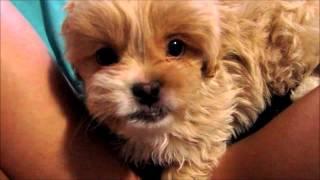 Cutest Peekapoo Puppy Ever