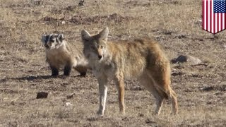 Badger and coyote: Animal pair team up as rare interspecies hunting duo in Colorado - TomoNews