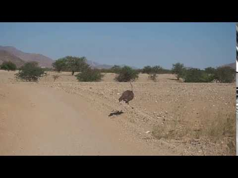 P6192044   Struisvogel in Kaokoveld
