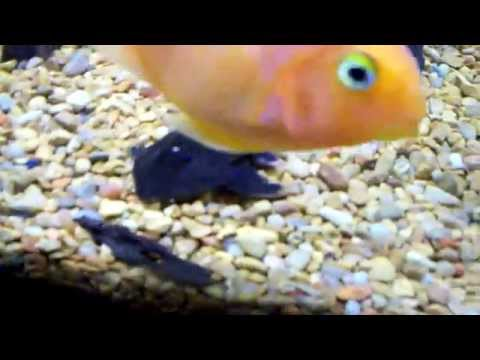 Rare  Chameleon Whiptail Catfish (Pseudohemiodon Apithanos)