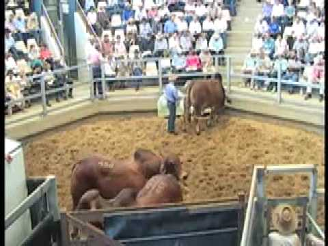 ROCKHAMPTON BRAHMAN WEEK 2009 LOT451