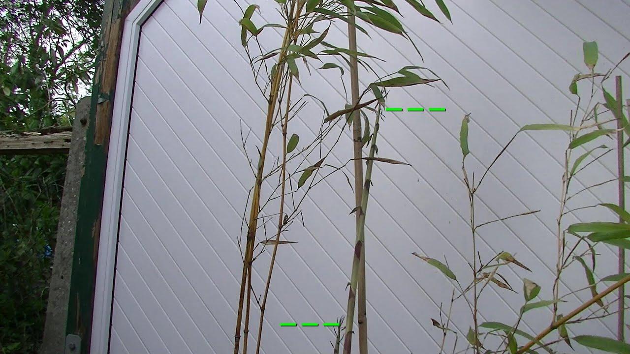 Turbodynamischer Bambus Wachst In Zeitraffer Youtube