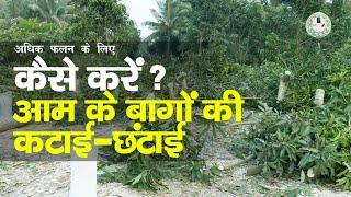 अधिक फलन के लिए आम के बागों की कटाई-छटाई ||Cutting-Purning of Mango Plant ||Mango Orchard Management