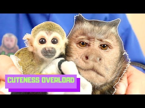 Baby Monkey Ollie & Capuchin MonkeyBoo BEST FRIENDS! (CUTENESS OVERLOAD)