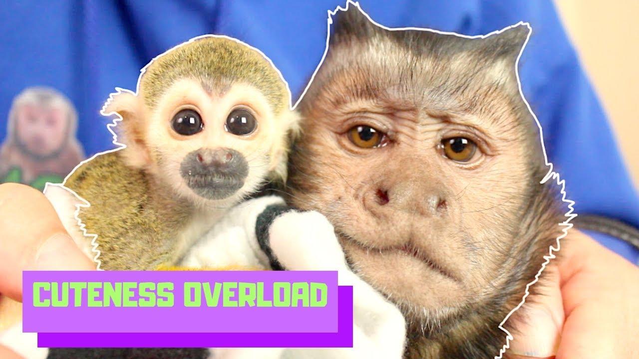 baby-monkey-capuchin-monkeyboo-best-friends-cuteness-overload