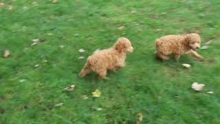 Miniature Poodle Puppies For Sale Moses Glick