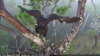 aef nefl eagle nest hope s first mini branch by her 2nd month