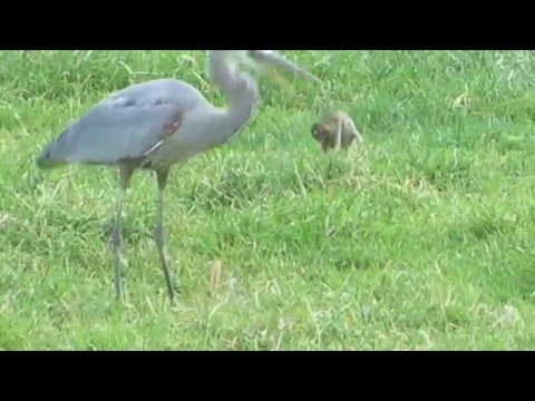 Great Blue Heron gets a gopher then loses it to a hawk.