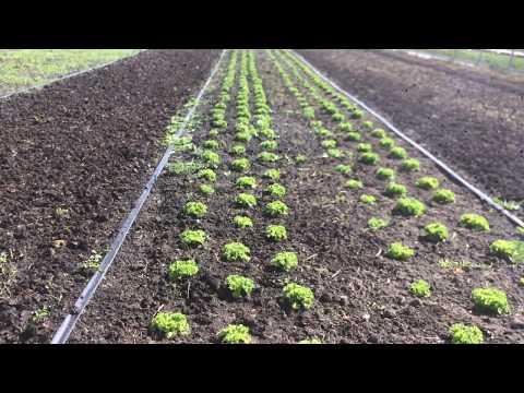 огород\выращивание зелени\полив огорода