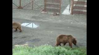 Медведи ходят по поселку. Камчатка