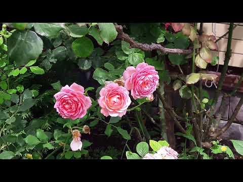 Розы D. Austin . Новости и советы от питомника. Остинки в моём саду.