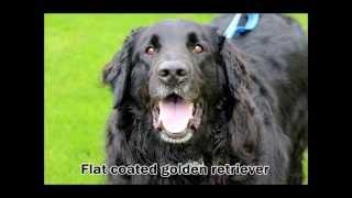 Roscoe, Golden Retriever Rescue Resource, Grrr Inc.