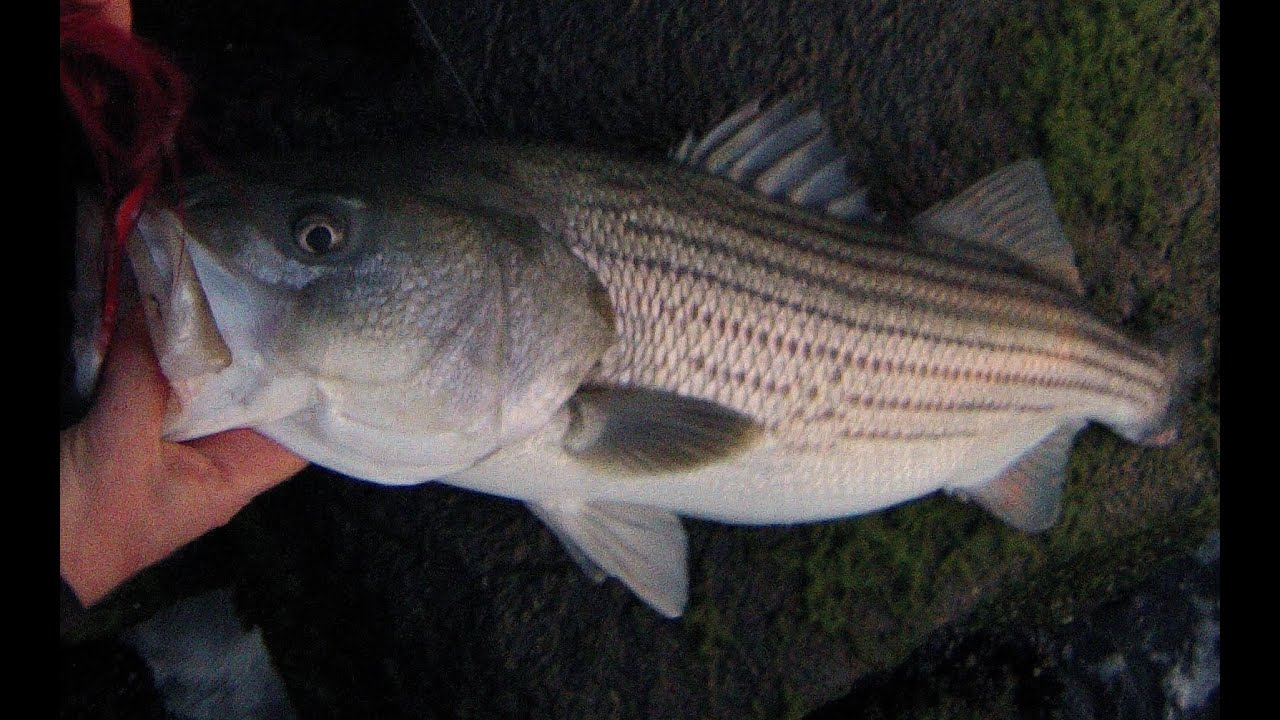 Striped bass fishing surf bucktailing rocky shorelines for Striped bass fishing tips