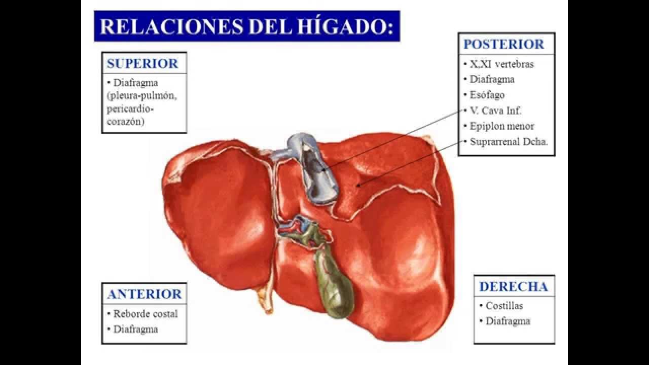 HIGADO VIAS BILIARES - YouTube
