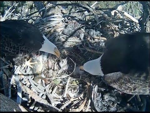 Big Bear Eagle Cam ~ Dual Feeding For The Babies 2.13.18