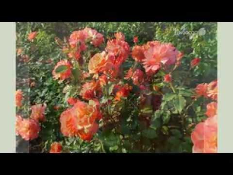 Белая роза Фото и сорта белой розы Садовые цветы и