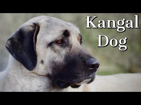 Kangal Dog | Is it right for you?