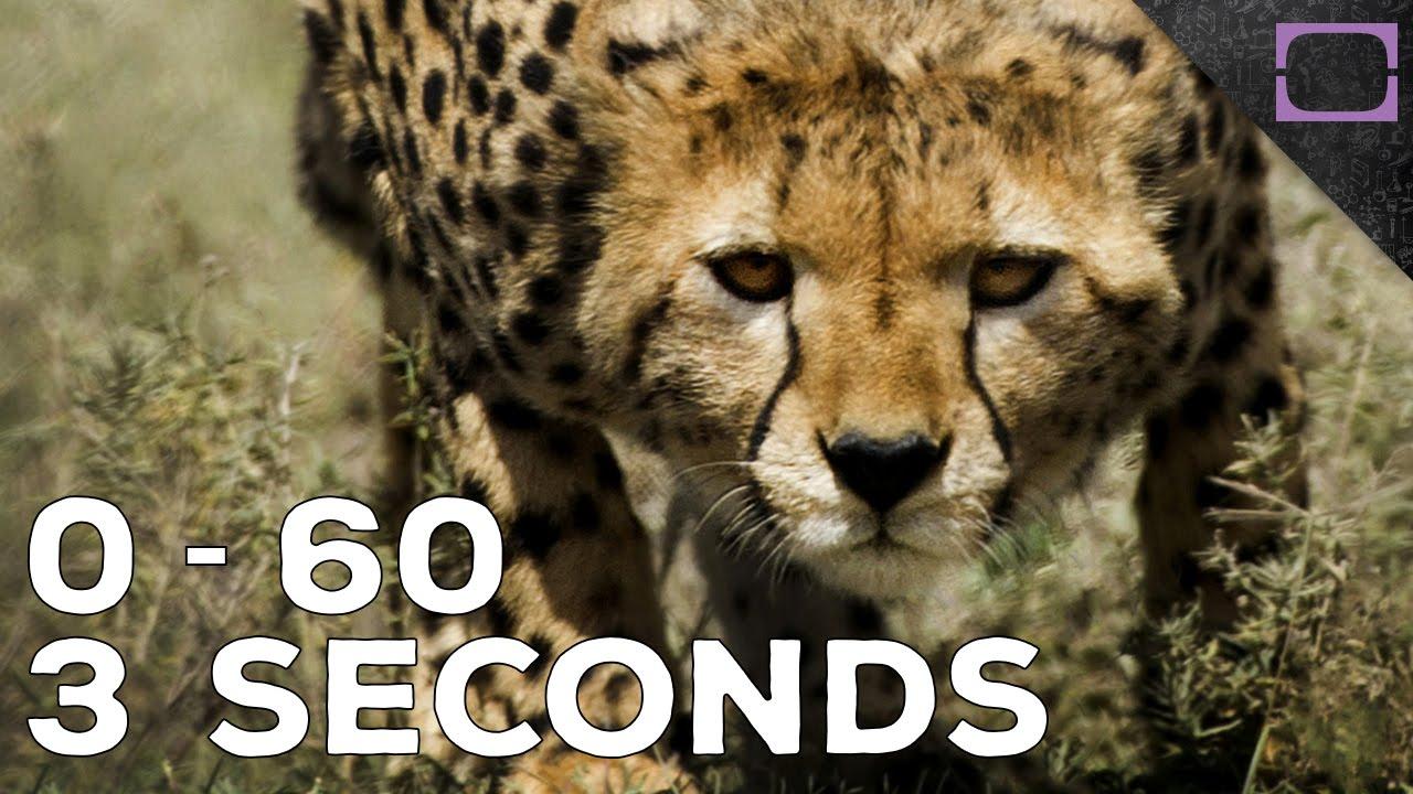 How Fast Do Cheetahs Run How Fast Do Che...