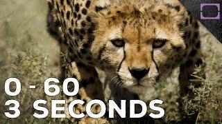 How Fast Do Cheetahs Run?