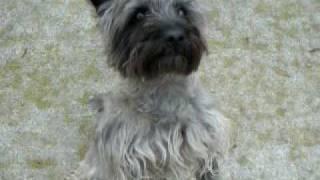 Crusa Cairn Terrier - Pedro (brindle)